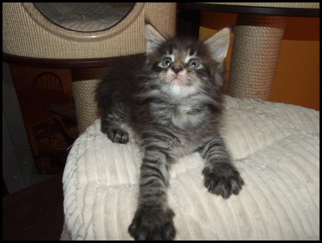 Lucyfer Wawelski Kot Pl
